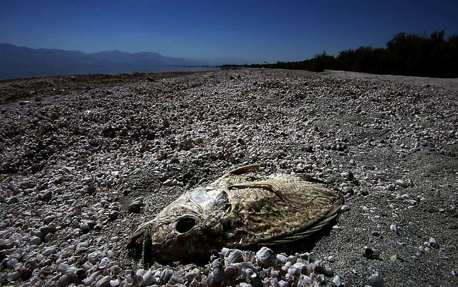 The parched carcass of a tilapia is half buried in the dried bones and scales of millions of other tilapia that have died and washed ashore at the Salton Sea State Recreation Area over the last decade, in this file photo from 2012. It was recently discovered that a fault runs along the eastern side of the Salton Sea. Photo: Luis Sinco, McClatchy-Tribune News Service
