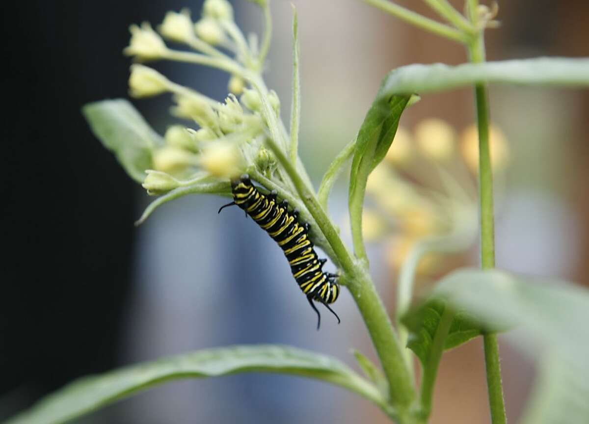 A monarch caterpillar clings to a milkweed plant in a butterfly demonstration garden near the Monarch Bay Golf Course in San Leandro. The area is a winter haven for migrating monarch butterflies.