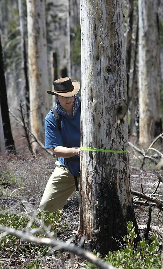 In this photo taken Monday, May 28, 2012 Chad Hanson, executive director of the John Muir Project,  marks a tree, slated to be removed, that holds the nest and chicks of the rare black-backed woodpecker, at the site of the 2007 Angora fire near South Lake Tahoe, Calif.  Rare woodpecker chicks in burned forest stands at Lake Tahoe won't survive if the U.S. Forest Service proceeds with a contentious post-fire logging project, according to conservationists pressing the agency to postpone cutting around the trees until after the nesting season in August. (AP Photo/Rich Pedroncelli) Photo: Rich Pedroncelli, Associated Press