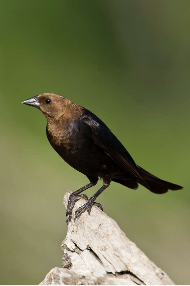 The agency killed 479,910 cowbirds in the 2013 budget year. Photo: Kathy Adams Clark / Kathy Adams Clark/KAC Productions