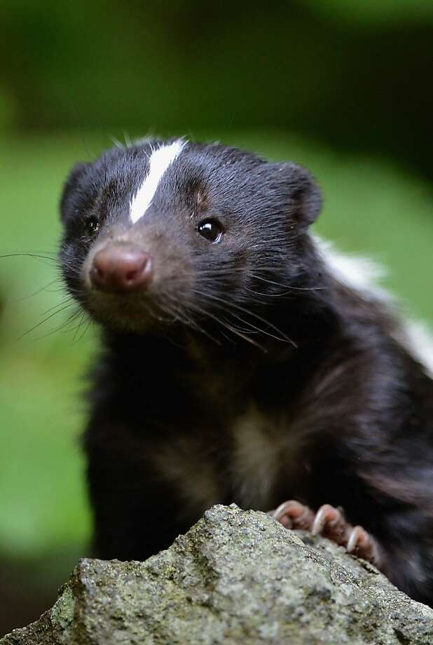 Flo the skunk arrives at Edinburgh Zoo from Amneville Zoo in France on June 1, 2012 in Edinburgh, Scotland. Flo has joined a six year old male skunk Fergus, both are striped skunks which are native to North America. These black and white creatures are most iconic for their unique, defensive odour. Photo: Jeff J Mitchell, Getty Images