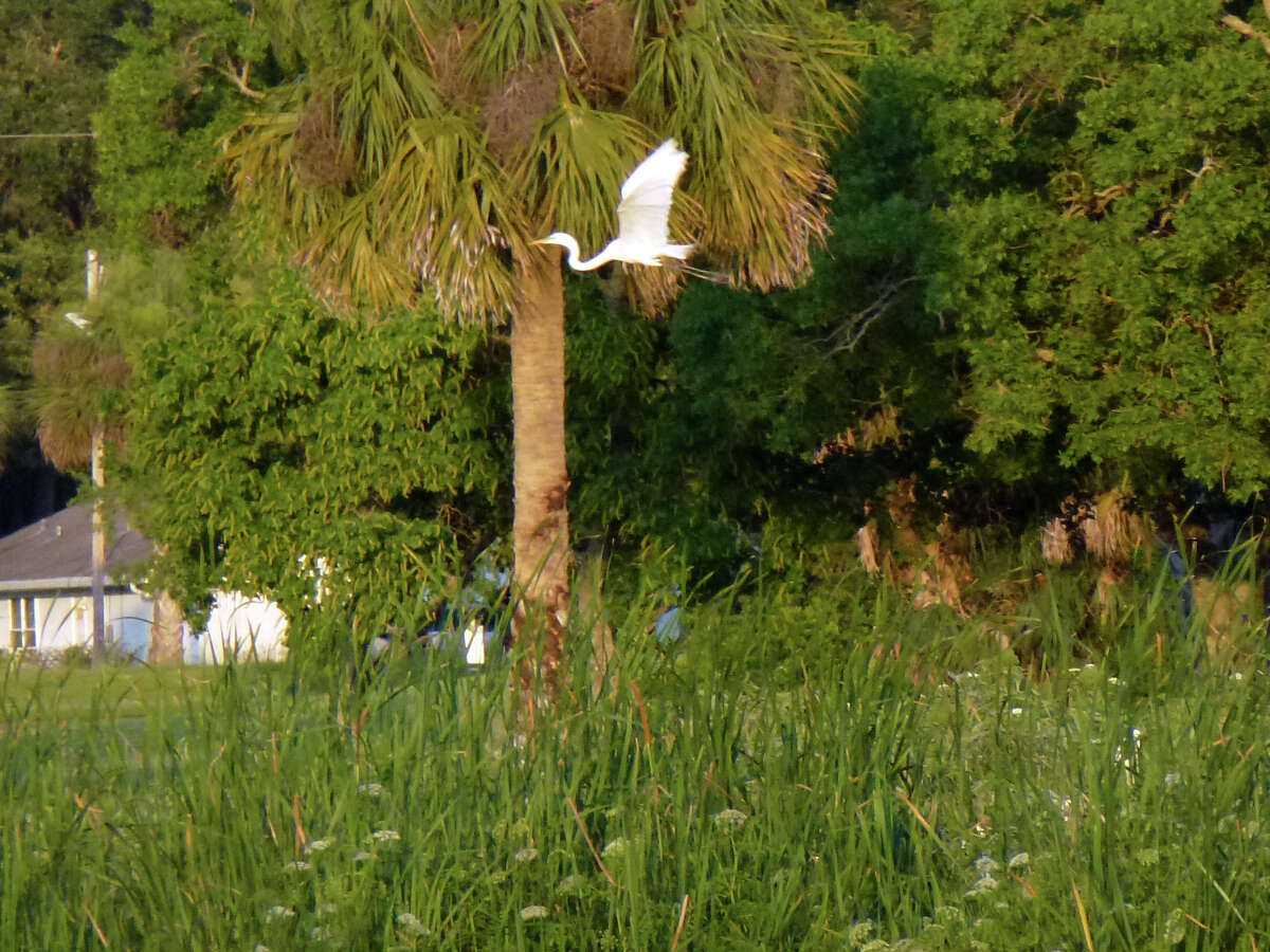Egret are common on the Weeki Wachee Springs River in Spring Hill, Fla.