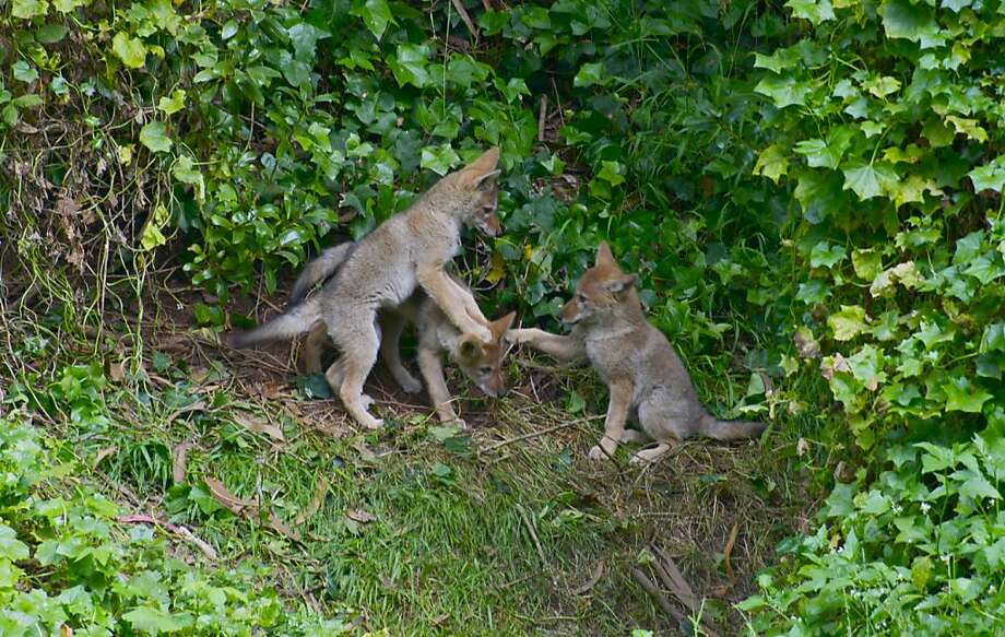 Its a little after sunrise, three coyote pups on their forest knoll in Golden Gate Park. Mother coyote watches from above (outside of frame). Taken for Natures Lantern founded by David Cruz. Photo: David Cruz, Special To The Chronicle