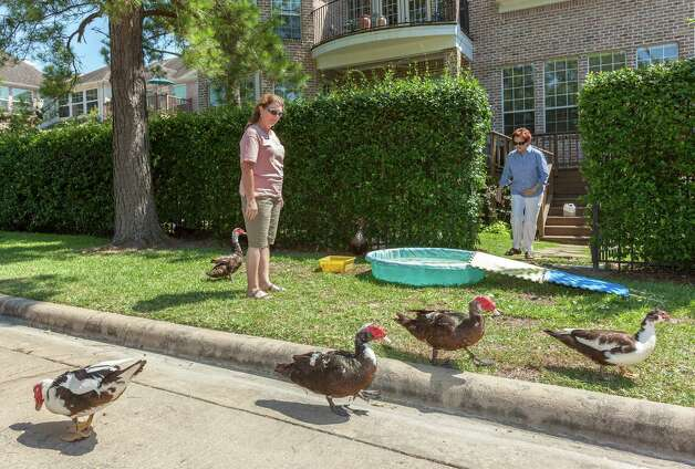 Geralyn Cornelius and neighbor Donna Paredes try to feed and water ducks from Lake Thicket on Friday with a child's pool behind their homes in the Memorial Thicket subdivision. Photo: Craig Hartley / Copyright: Craig H. Hartley
