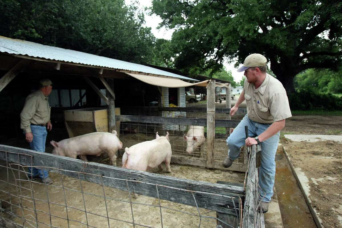 Russell Real climbs into a hog pen with his dad Chuck Real. Russell is being groomed to take over the farm.