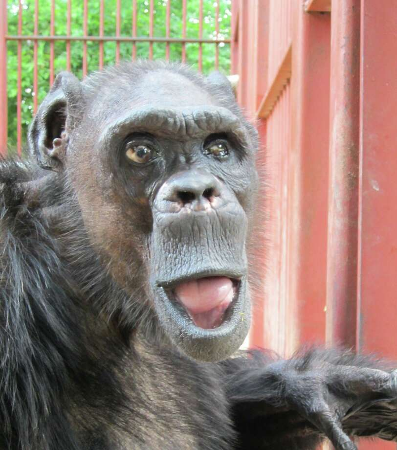 "Oliver, a male chimpanzee who lived at Primarily Primates and was known to many at as the ""Humanzee"" for his proclivity to walk upright, died Saturday, June 2, 2012 according to Primarily Primates officials. Photo: COURTESY OF PRIMARILY PRIMATES / COURTESY OF PRIMARILY PRIMATES"