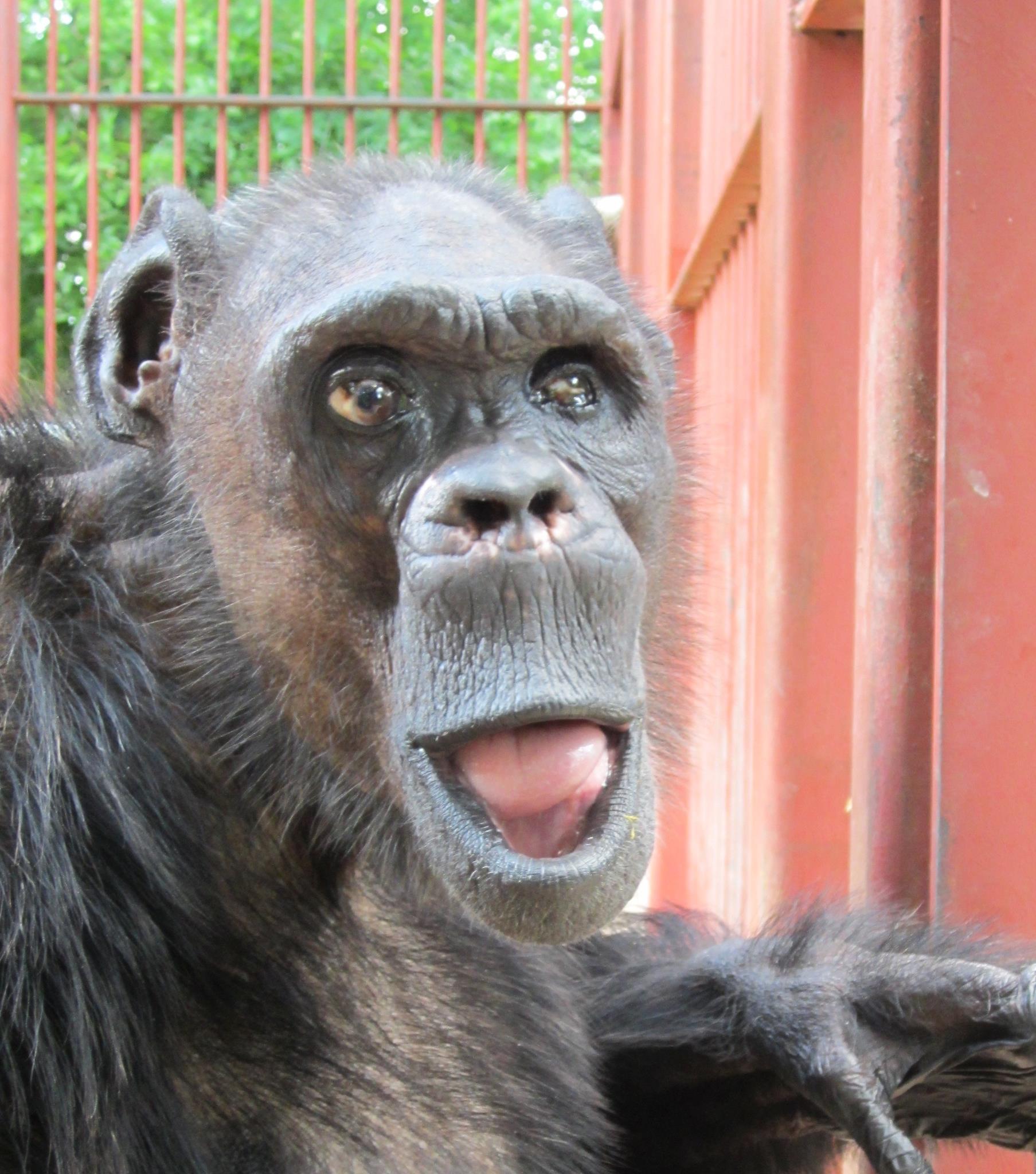 Oliver, famed chimpanzee, dies