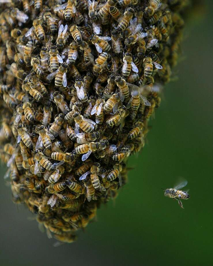 No room at the inn: A solo bee looks for a place to land on a tree branch swarmed by thousands of honey bees in Billings, Mont. Photo: Casey Page, Associated Press