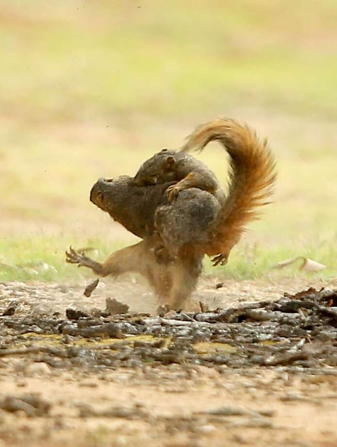 Beware of Texas vampire squirrels! They will drink your blood and eat your acorns. (Paris, Texas.) Photo: Sam Craft, Associated Press