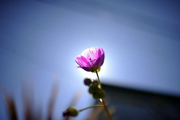 "A purple flower in John Lowen's garden is backlit by the sun.  The Garden Conservancy, a national nonprofit group, held its annual ""open days"" event at several private gardens on Telegraph Hill Sunday June 3rd, 2012. Photo: Michael Short, Special To The Chronicle"