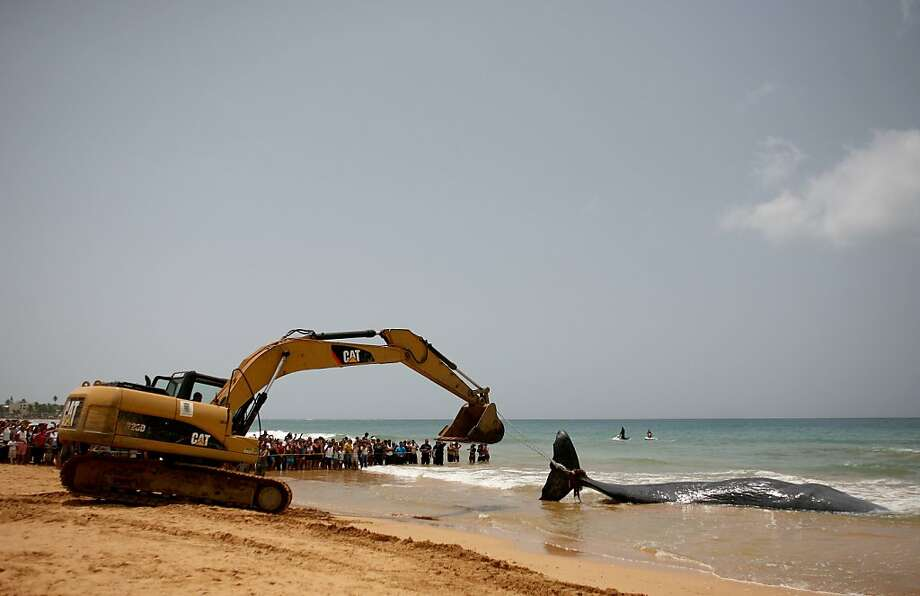 A bulldozer drags the body of a sperm whale out of the water at a beach in Luquillo, Puerto Rico, Sunday, June 3, 2012. A marine mammal expert in Puerto Rico said rescuers were unable to save a sperm whale about the size of a city bus that was stranded just off the island's north coast. (AP Photo/Ricardo Arduengo) Photo: Ricardo Arduengo, Associated Press