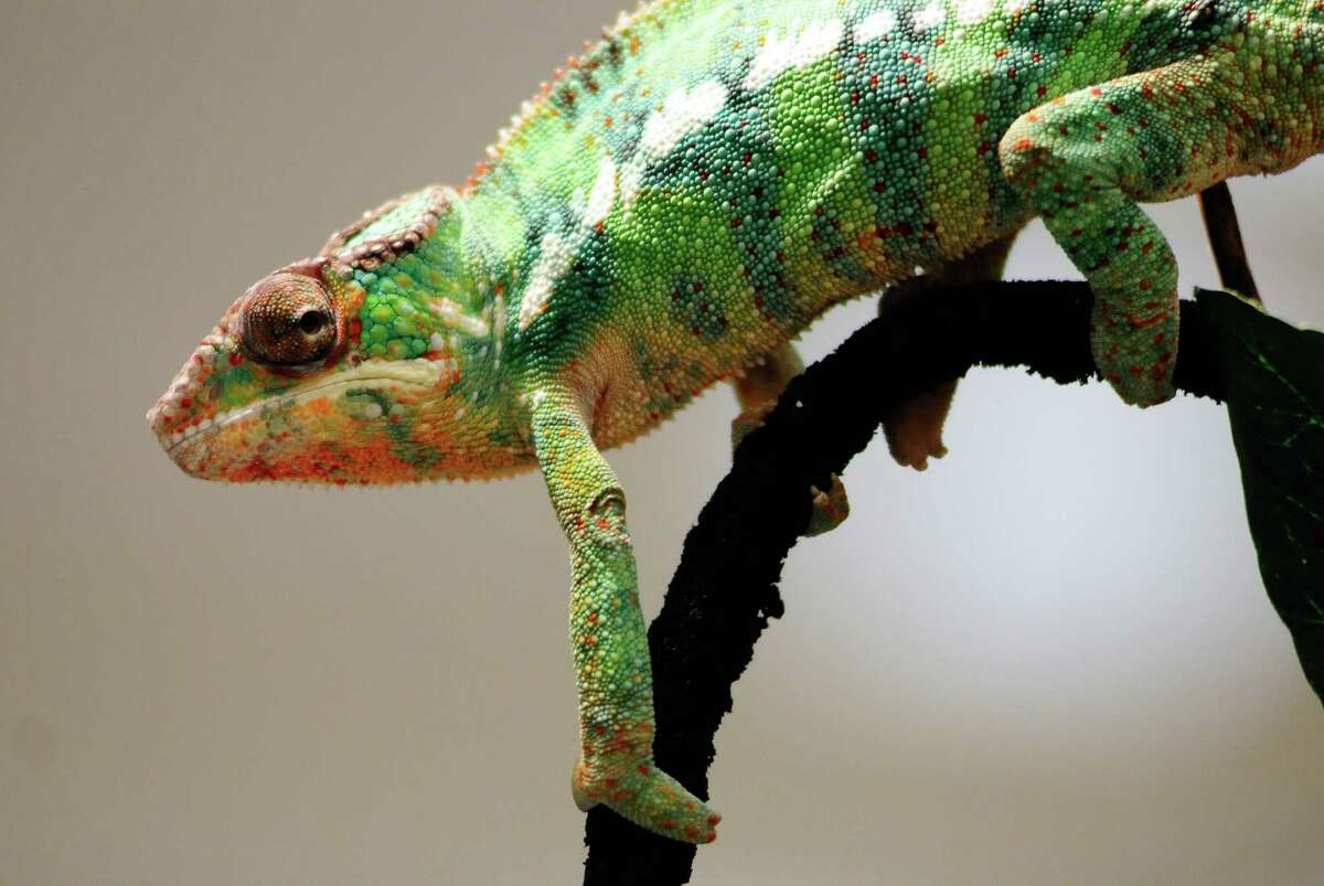 A chameleon rests on a branch at a vendor's table.