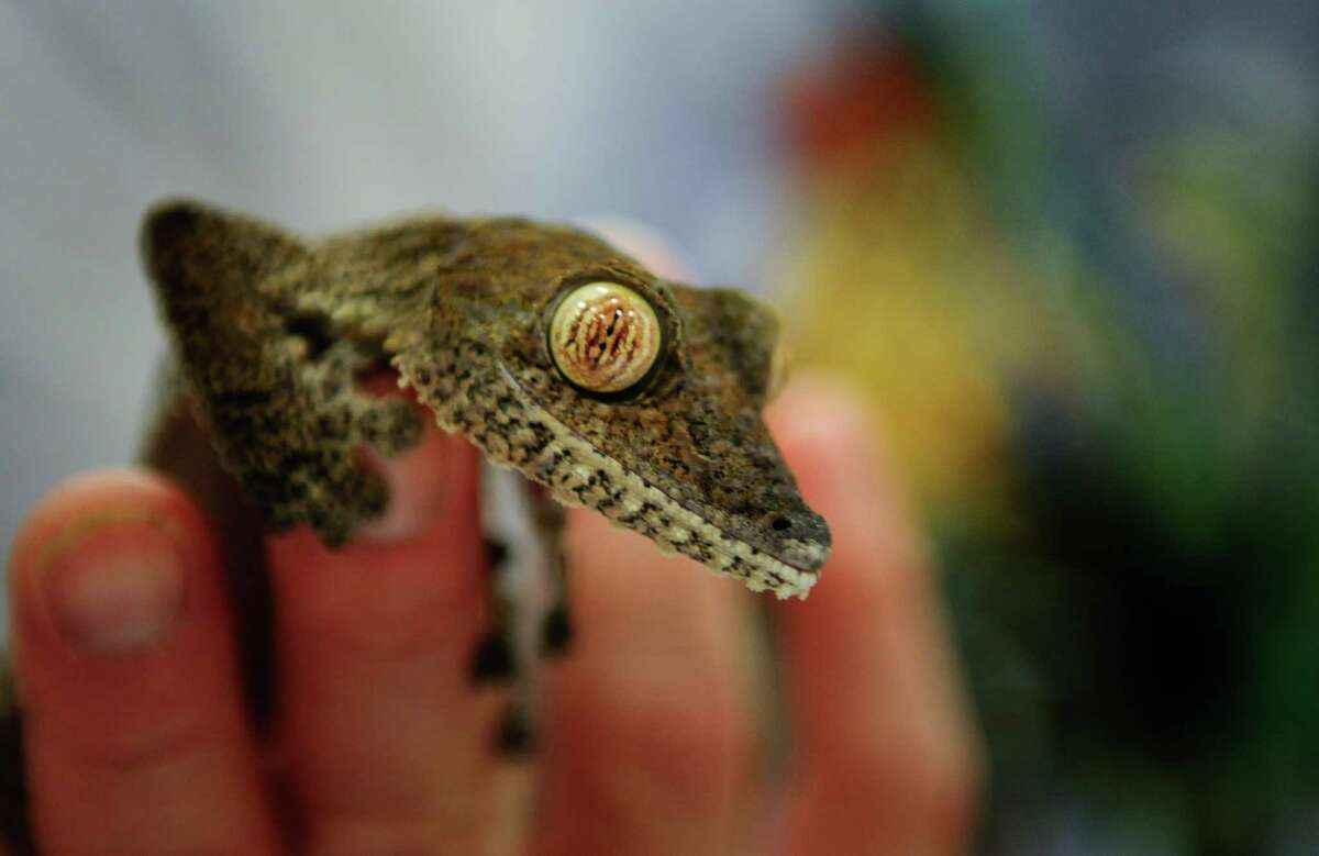 Elliot Gesang holds a Giant Leaftail Gecko.