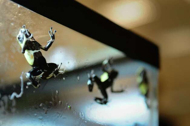 Tinctorius Poison Dart Frogs cling to the side of their tank. Photo: LINDSEY WASSON / SEATTLEPI.COM