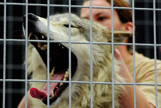 "A wolf yawns as she is pet by a ""Predators of the Heart"" volunteer. Photo: LINDSEY WASSON / SEATTLEPI.COM"