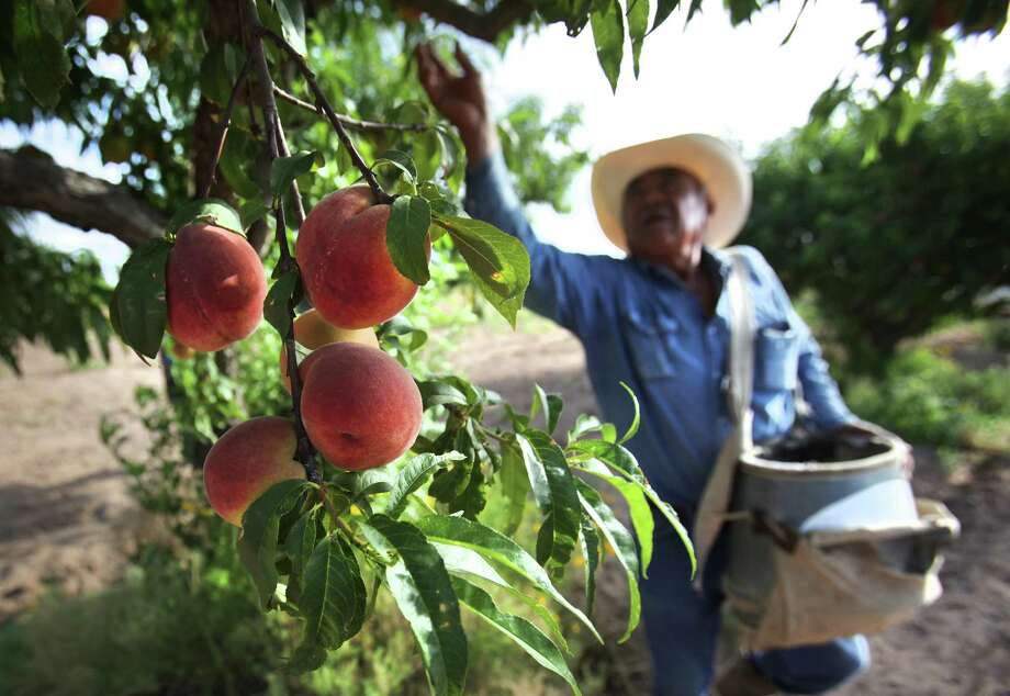 Pedro Vela,  orchard forman at Burg's Corner near Stonewall, TX, picks peaches.  Tuesday, May 29, 2012. Photo: BOB OWEN, San Antonio Express-News / © 2012 San Antonio Express-News