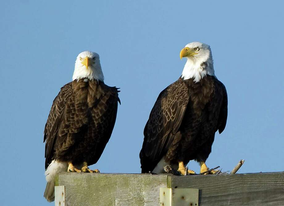 """Since Rachel Carson's seminal """"Silent Spring"""" was published, the population of American bald eagles in the contiguous 48 states has soared 20-fold. Photo: Ricky Carioti, Associated Press / The Washington Post"""
