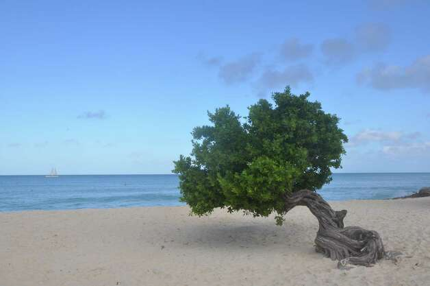 A gnarled divi divi tree grows in the sand of Aruba's Eagle Beach. Photo: Melissa Ward Aguilar