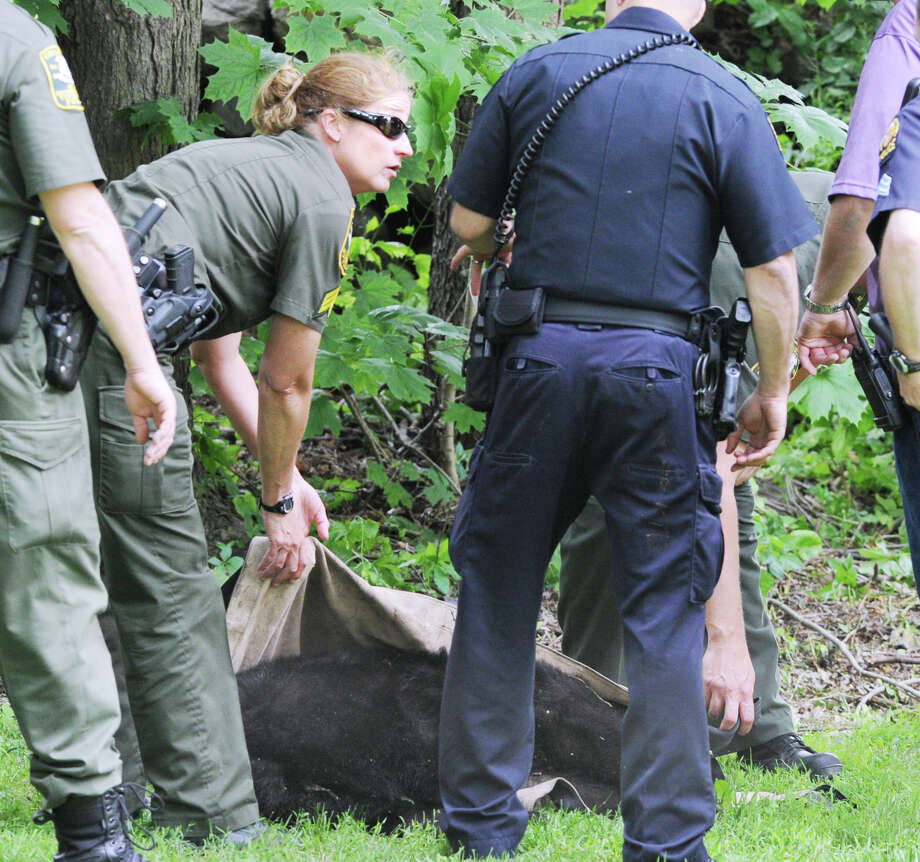 A small bear was tranquilized and captured by authorities in the Chickahominy section of Greenwich, Wednesday afternoon, June 6, 2012. Photo: Bob Luckey / Greenwich Time