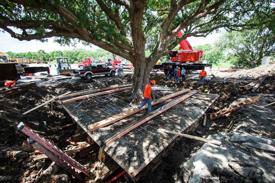 Workers prepare to attempt to move of the immense 100-year-old Ghirardi Oak out the ground in League