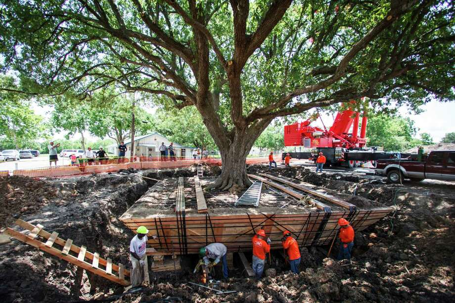 The oak was scheduled to be cut down to make way for widening Louisiana Street, but public outcry forced the City Council to reconsider. Photo: Michael Paulsen, Houston Chronicle / © 2012 Houston Chronicle