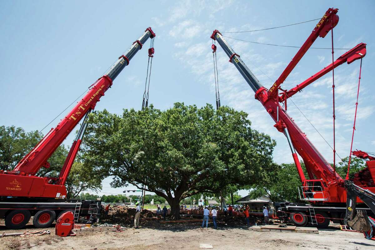 Workers attempt to move the immense 100-year-old Ghirardi Oak out of the ground, Wednesday, June 6, 2012, in League City. The moving of the massive tree was delayed till tomorrow after stronger i-beam supports are installed under the tree. The oak was scheduled to be cut down to make way for widening Louisiana Street, but popular outcry forced the City Council to reconsider. ( Michael Paulsen / Houston Chronicle )