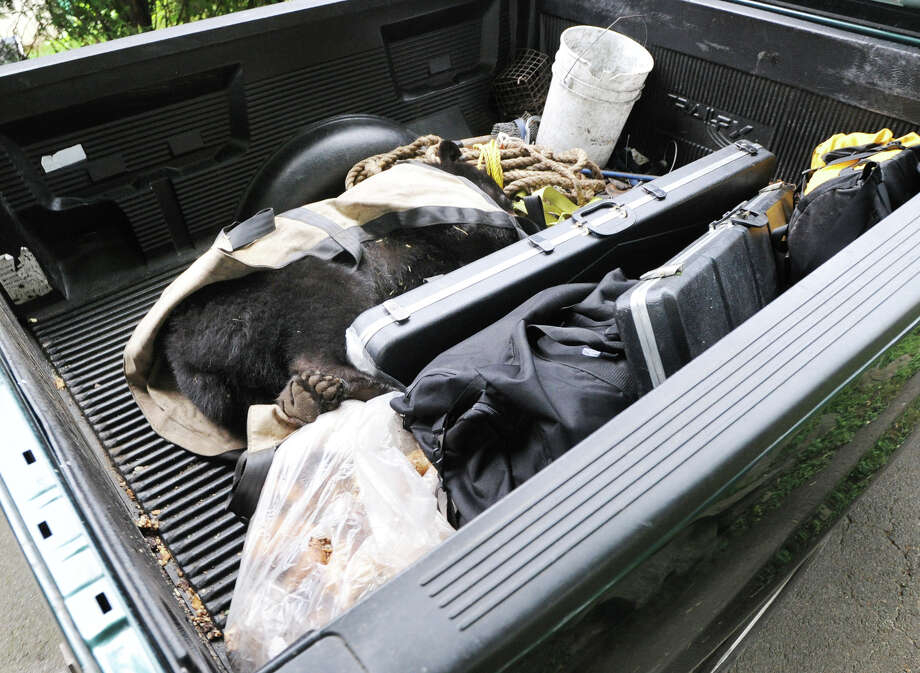 A small bear was tranquilized and captured by authorities in the Chickahominy section of Greenwich June 6, 2012. Photo: Bob Luckey / Greenwich Time