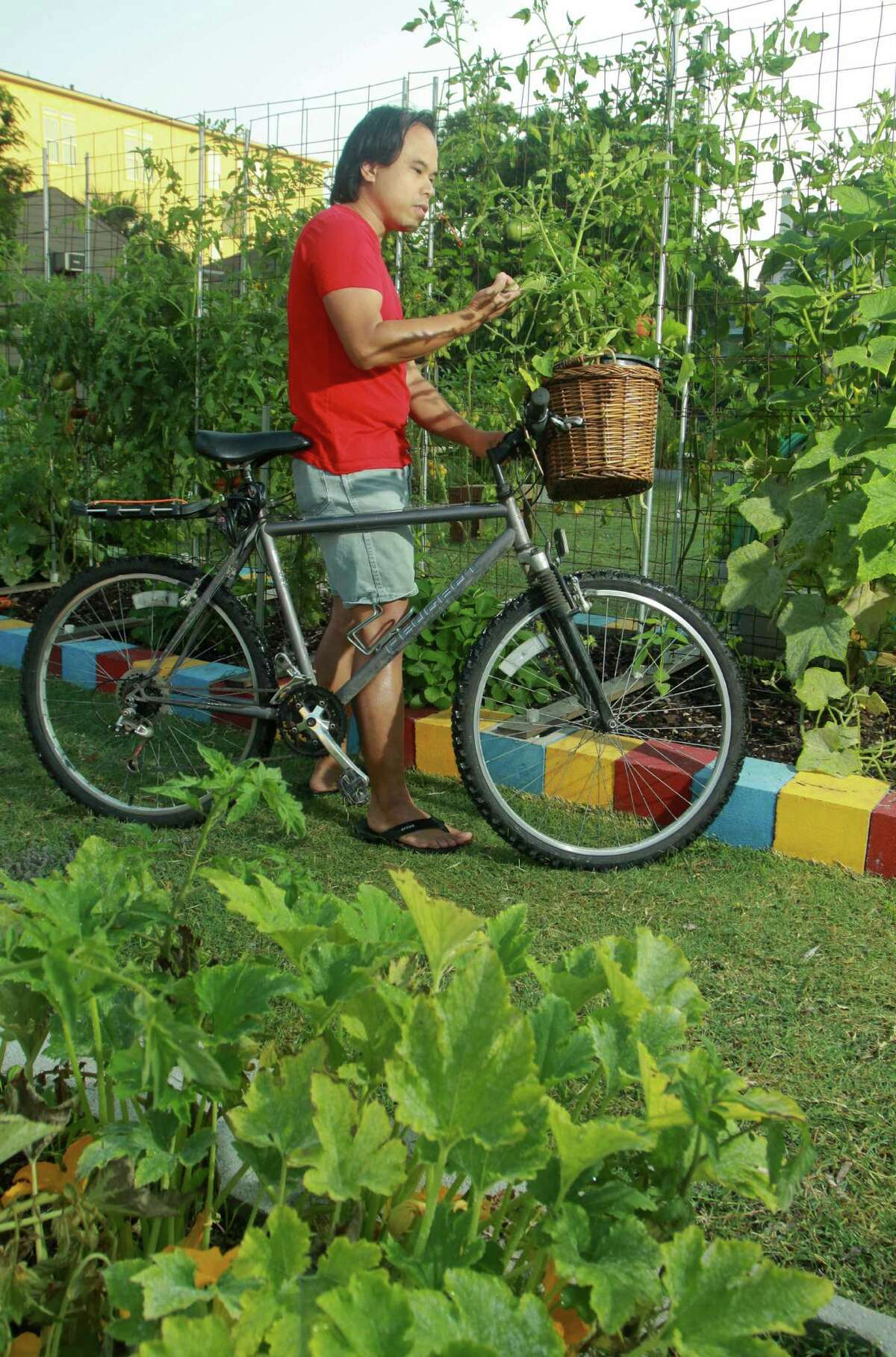 (For the Chronicle/Gary Fountain, May 17, 2012) Wing Tse at the Midtown Community Garden at the corner of Drew and Baldwin with a Sun Gold cherry tomato plant in the basket of his bicycle.