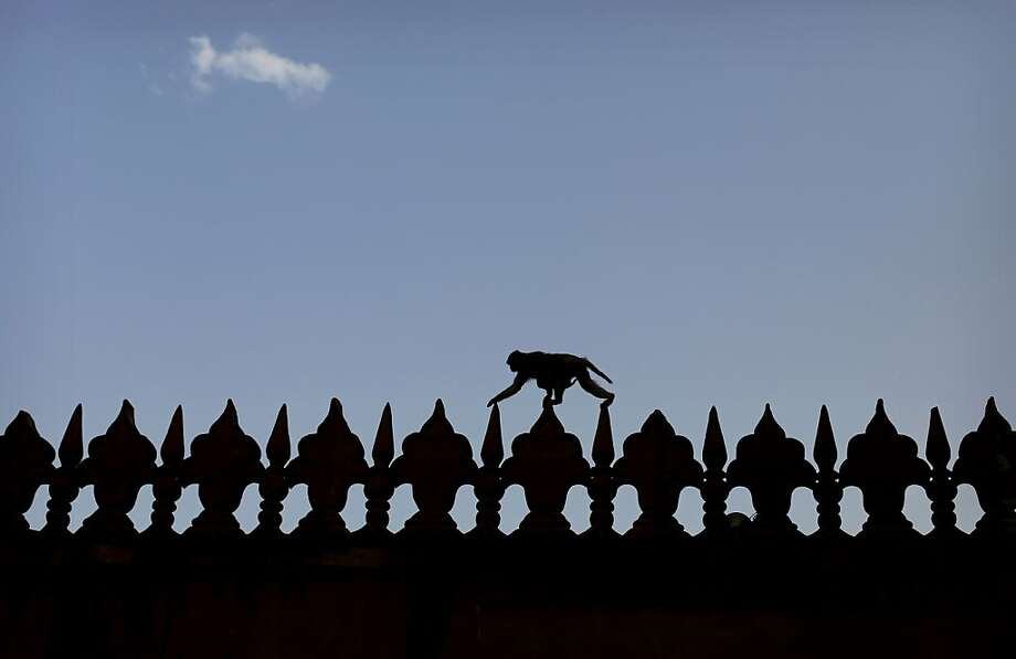 A monkey traverseslattice work in the compound of the Taj Mahal in Agra, India. Photo: Kevin Frayer, Associated Press