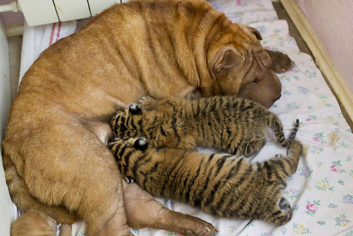 The beginning: About six weeks ago at a zoo in Sochi, Russia, an Amur tiger - one of the rarest tigers on the planet - gave birth to a pair of cubs. The zoo, of course, was thrilled, but its joy soon faded - the mother wouldn't feed her babies. Fortunately, the zoo found a woman, Yekaterina Khodakova, whose Shar Pei Cleopatra had recently had a litter of puppies. Cleopatra immediately accepted the tiger cubs as her own, and began nursing them. Now the Amur cubs, dubbed Clyopa and Plyusha, think they're dogs. So let's visit with them!
