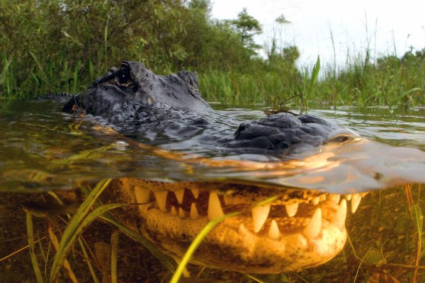 Snack attack: alligators like to eat sharks, study reveals ...
