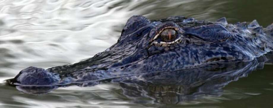 On the prowl for whatever it can sink its teeth into. (Shannon Tompkins / Houston Chronicle)