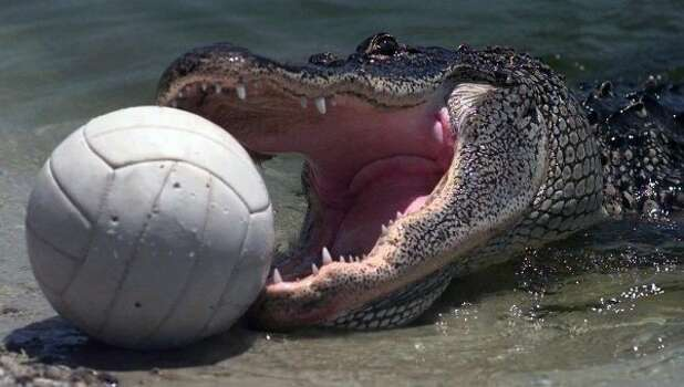 This alligator eventually swam away with its leathery prey. (Sunny Sung / AP)