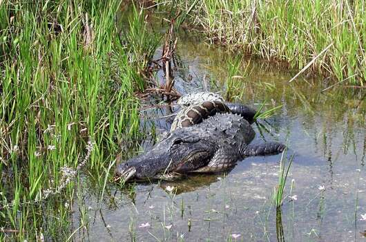 A Burmese python makes a fine meal for this gator. (AP)