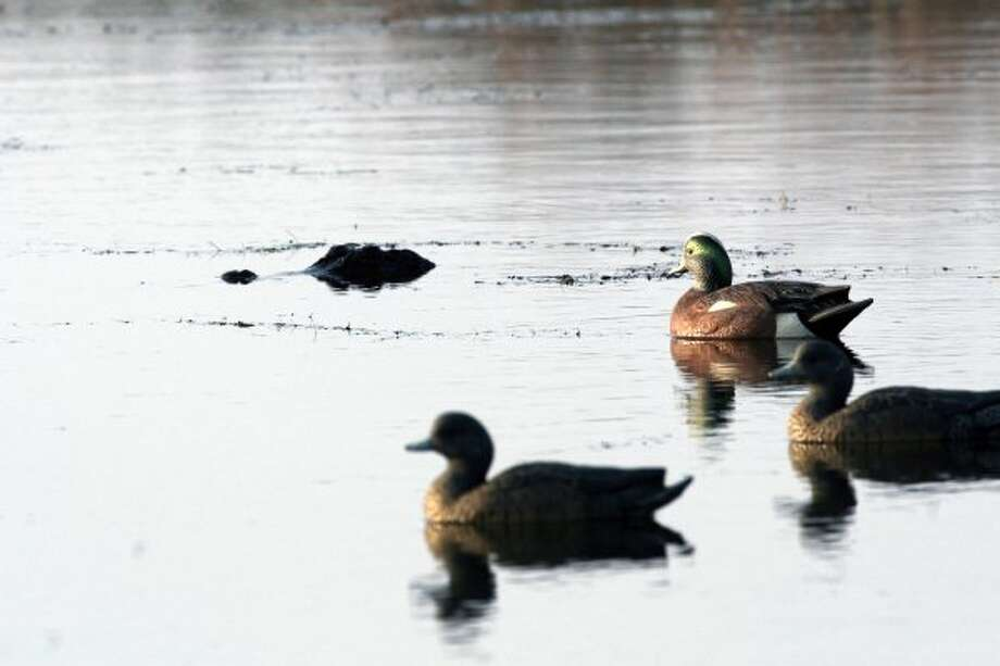 An alligator thinks about some duck. The fact that these are decoys is no real deterrent.  (Shannon Tompkins / Houston Chronicle)