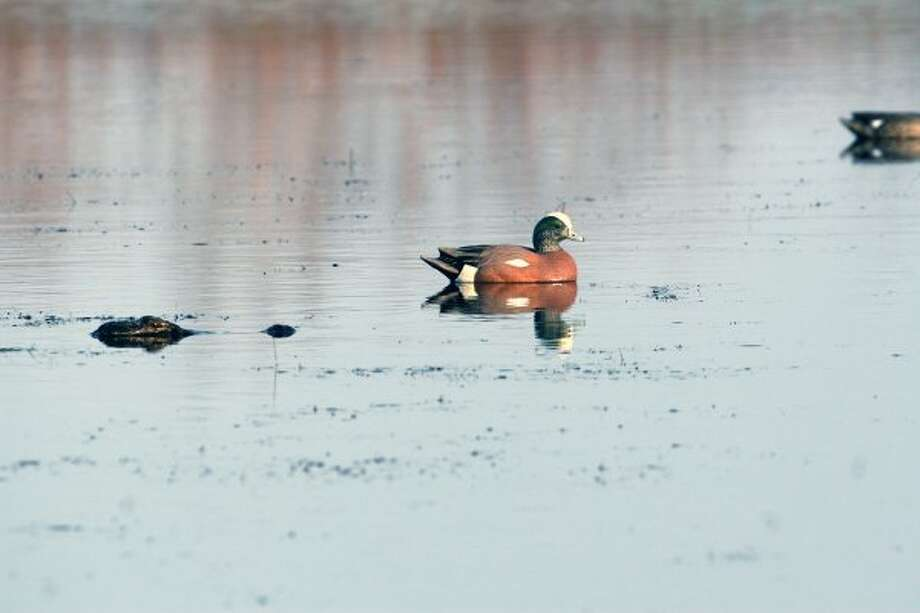 An alligator will eat duck decoys but can also pose a threat to waterfowlers' retrieving dogs. (Shannon Tompkins / Houston Chronicle)