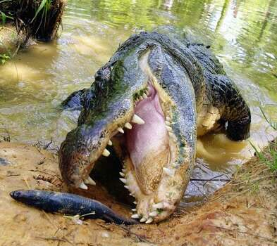 An alligator feeds at the Caldwell Zoo in Tyler. Fish, turtles, crabs, you name it, they'll eat it. (Tom Wornor / AP)