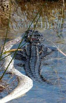 An alligator is seen shortly after winning a fight with a Burmese python. (Mike Mercier / NYT)