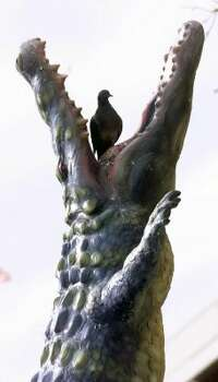OK, so this isn't a real alligator. But although the sculpture in El Paso by artist Luis Jimenez looks real enough, the pigeons have figured out there's nothing to fear. (Victor Calzada / AP)