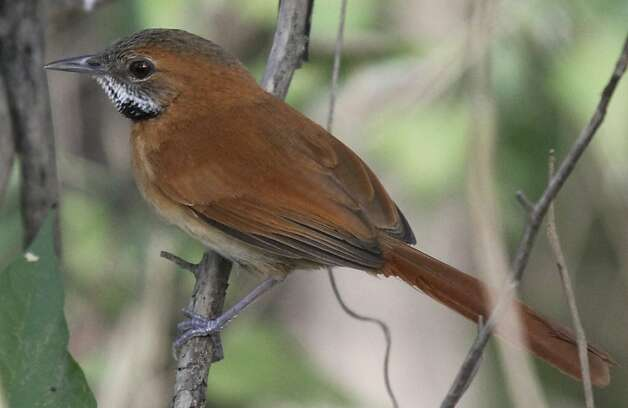 In this photo taken on March 2012 and released by BirdLife International on Thursday, June 7, 2012, a Hoary-throated Spinetail perches on a branch near the Takutu River on the border between Brazil and Guyana. Ninety types of Amazon birds have been added to a list of species at risk of extinction as their rainforest habitat is slashed to make room for cattle ranching and agriculture, conservationist group BirdLife International said Thursday. (AP Photo/BirdLife International, Mikael Bauer) Photo: Mikael Bauer, Associated Press