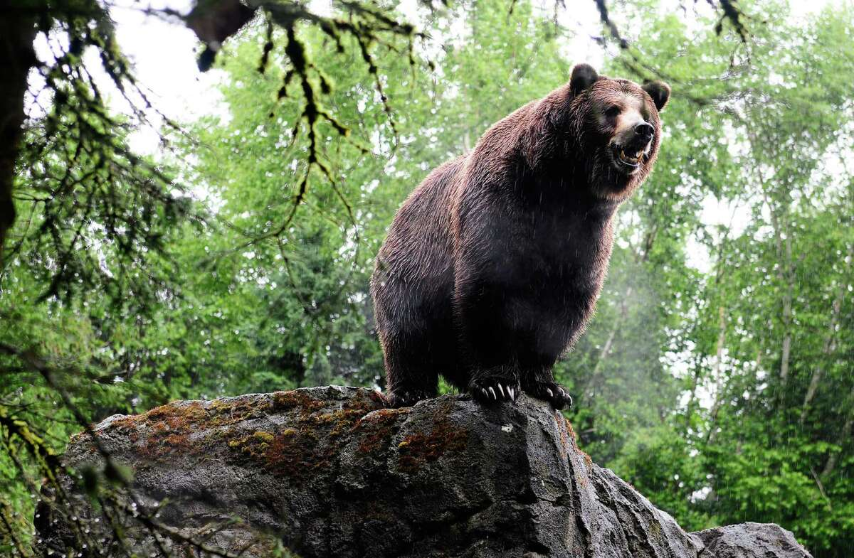 One of the grizzlies looks on in anticipation as the fishmongers prepare to feed.
