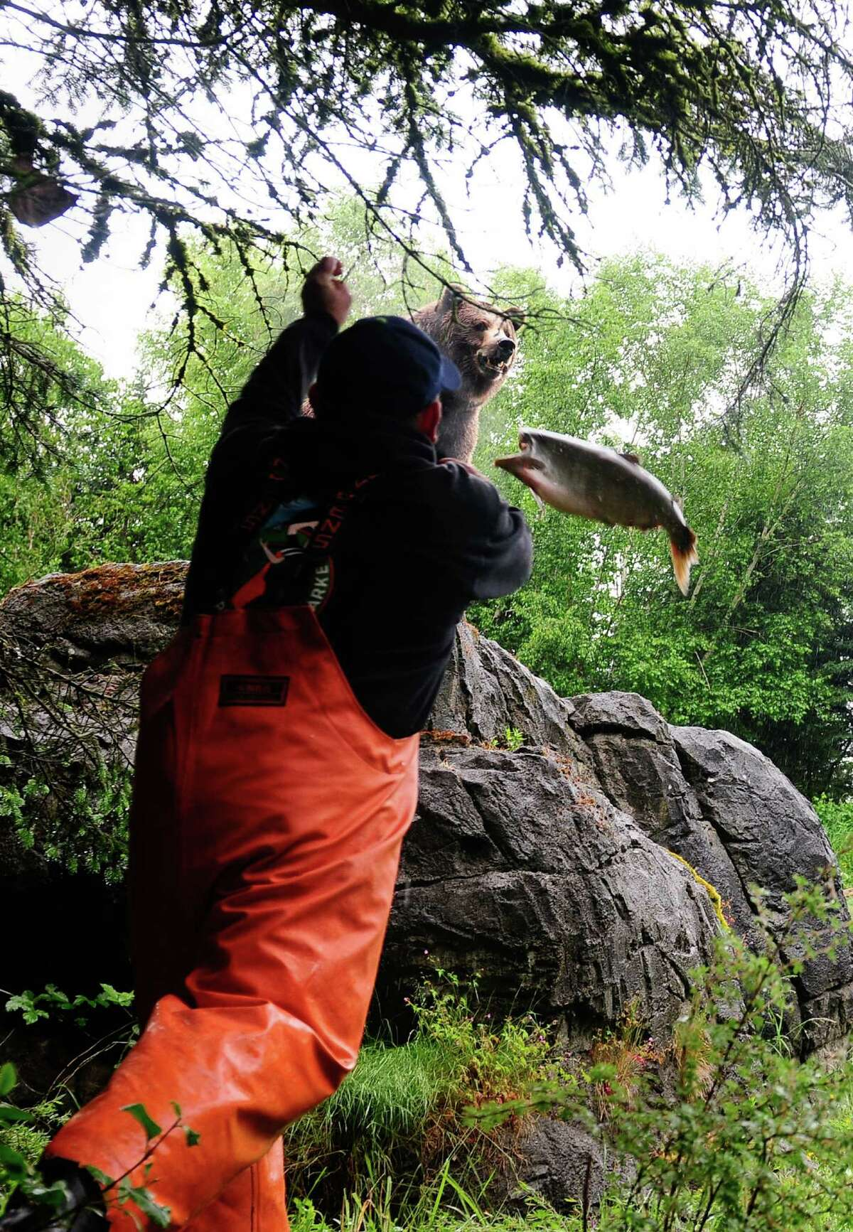 Fishmonger Chris Bell tosses a salmon to Woodland Park Zoo's 800-lb grizzly bear brothers, Keema and Denali, on Thursday, June 7, 2012. The event was held to usher in the zoo's annual Bear Affair & Big Howl for Wolves event happening on June 9.