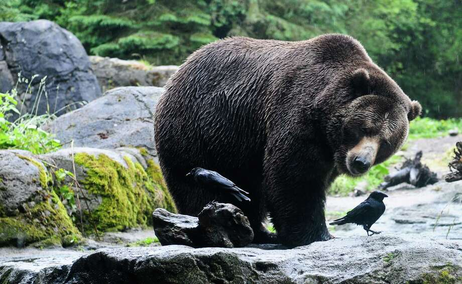 One of the zoo's grizzly bears eyes a few crows trying to get a free meal during a salmon toss event to feed the Woodland Park Zoo's 800-lb grizzly bear brothers, Keema and Denali, on Thursday, June 7, 2012. The event was held to usher in the zoo's annual Bear Affair & Big Howl for Wolves event happening on June 9. Photo: LINDSEY WASSON / SEATTLEPI.COM