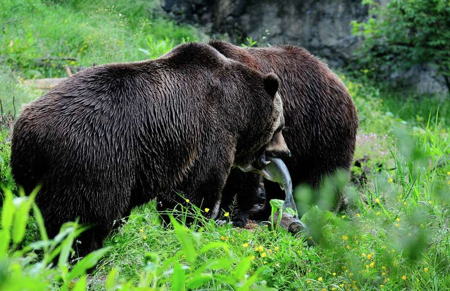 Denali walks toward a cave in the exhibit to eat his salmon. Photo: LINDSEY WASSON / SEATTLEPI.COM