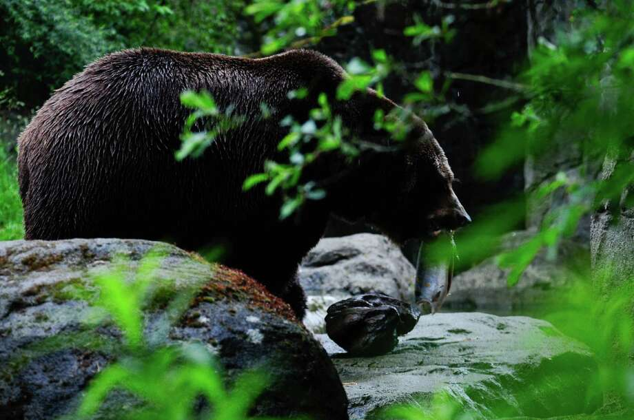 Denali walks into a cave in the exhibit to eat his salmon during a salmon toss event. Photo: LINDSEY WASSON / SEATTLEPI.COM