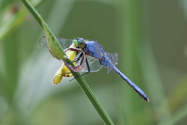 A male Eastern Pondhawk feeds on a sulphur butterfly along the edge of a pond in east Texas.  Dragonflies feed on a variety of insects including mosquitos.  Photo Credit:  Kathy Adams Clark.  Restricted use. Photo: Kathy Adams Clark / Kathy Adams Clark/KAC Productions