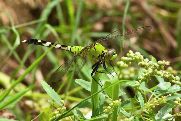 A female eastern pondhawk perched on vegetation near a pond.  Dragonflies are beautiful to look at and they feed on insects including mosquitos. Photo: Kathy Adams Clark / Kathy Adams Clark/KAC Productions