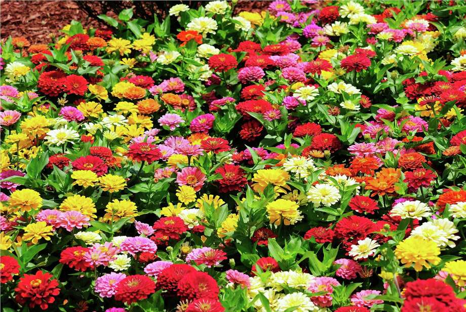 'Dreamland' and 'Magellan' zinnias are easy to grow. Photo: McClatchy / MCT