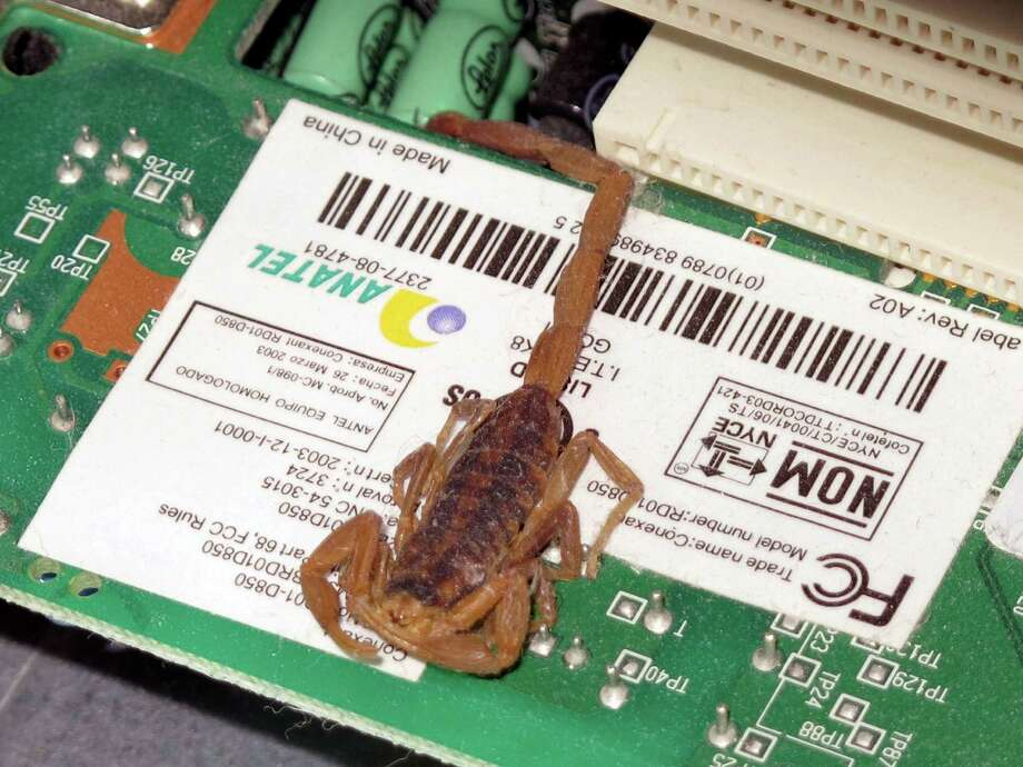 "This scorpion became a computer ""bug"" when its legs bridged several electrical contacts and prevented Minnie Mims from starting her computer. Photo: Forrest M. Mims III, For The Express-News"