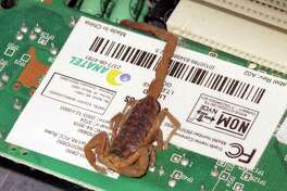 """This scorpion became a computer """"bug"""" when its legs bridged several electrical contacts and prevented Minnie Mims from starting her computer."""